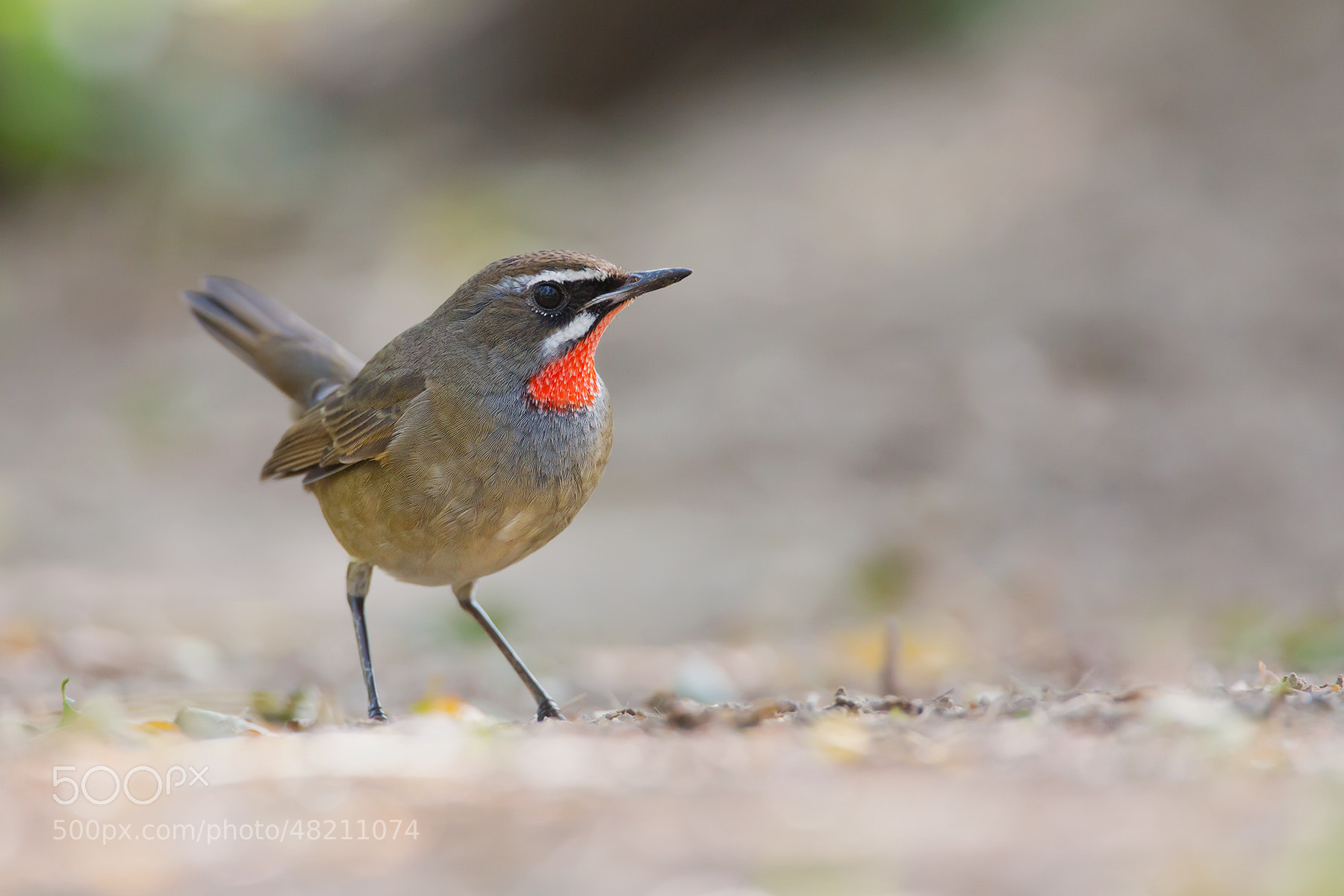 Photograph Siberian Rubythroat (Luscinia calliope) by Daniel Pettersson on 500px