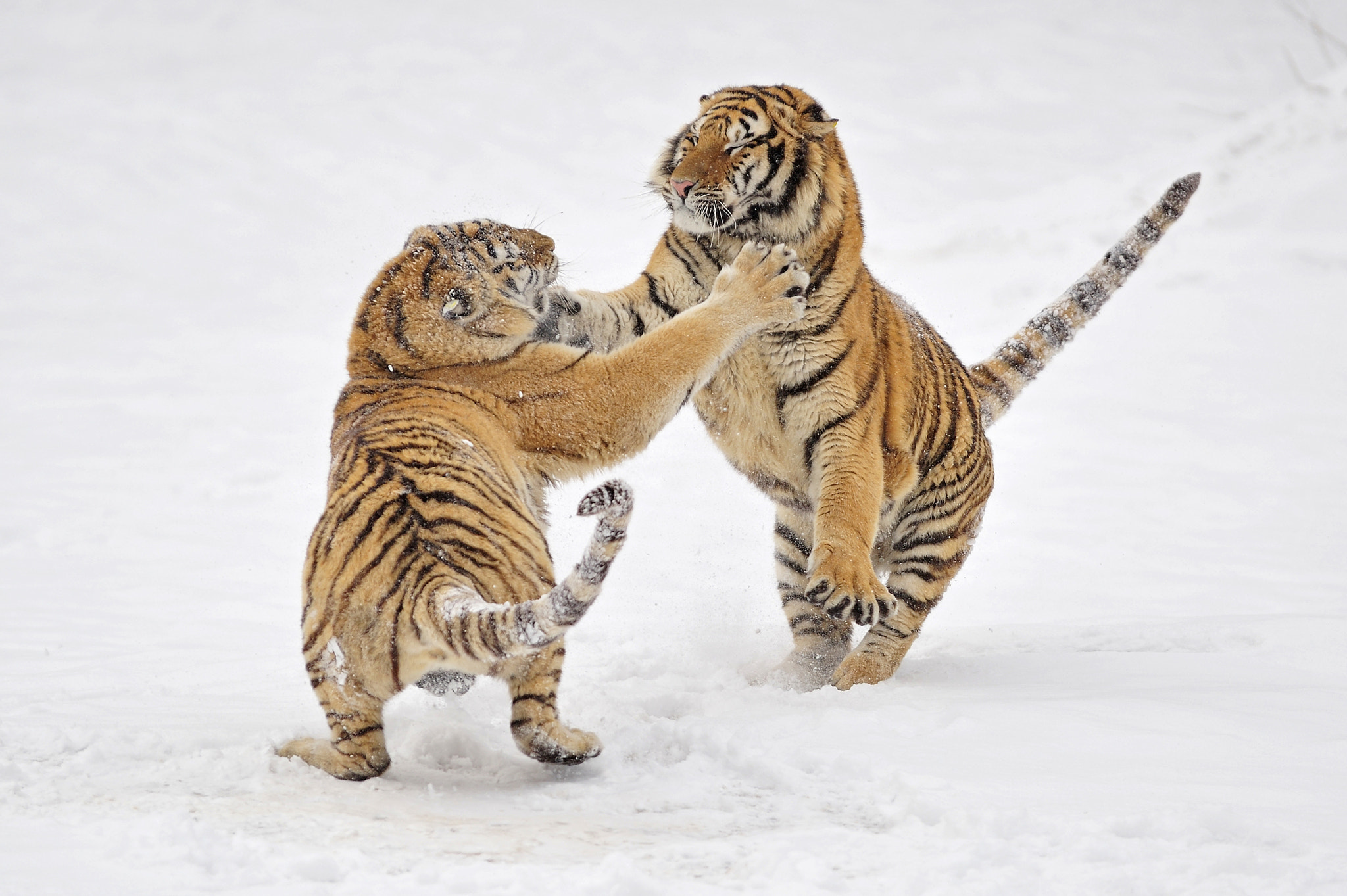 Photograph Tiger's games by Alexey Tishchenko on 500px