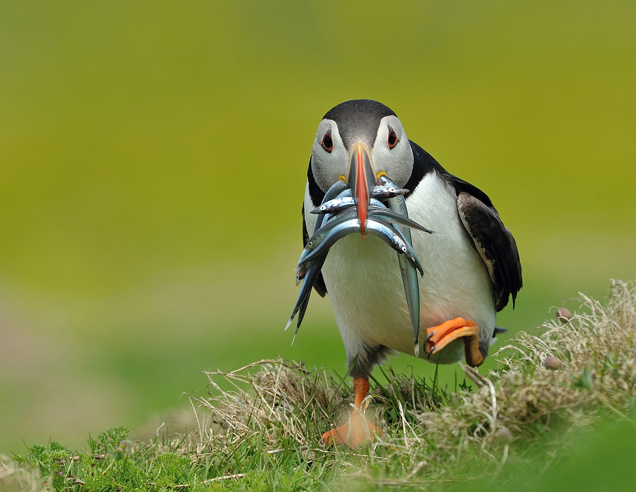 Photograph Puffin with Catch by Dean Mason on 500px
