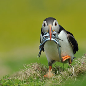 Puffin with Catch by Dean Mason (DeanMason)) on 500px.com