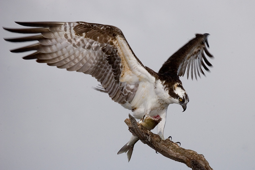 Photograph Osprey by Miguel Angel Leyva on 500px