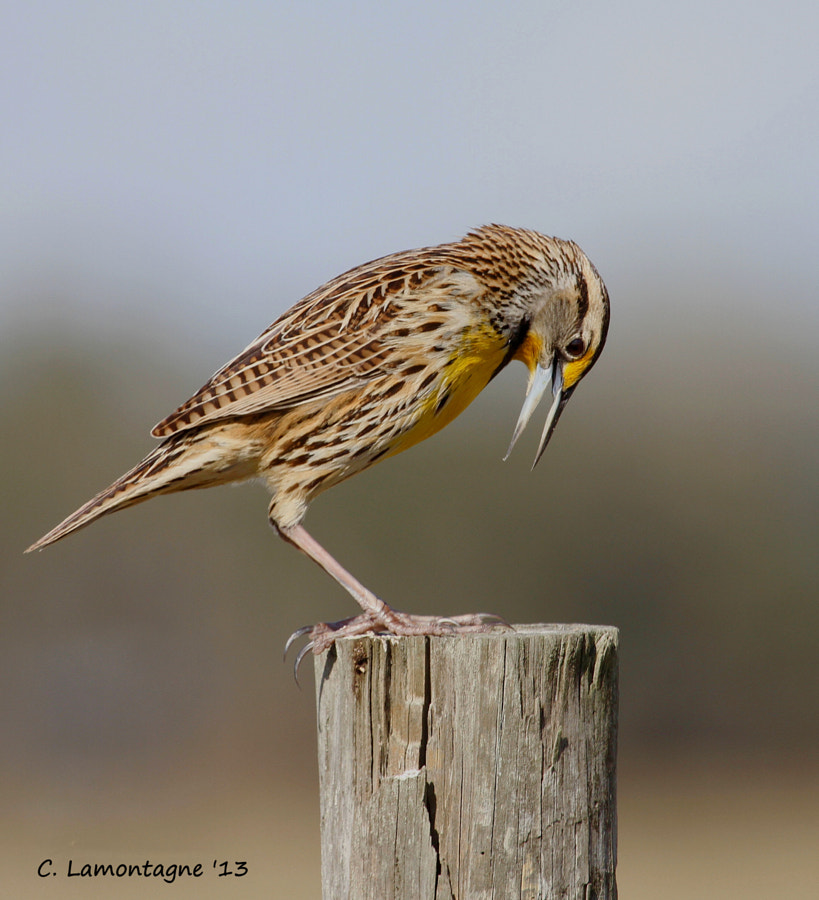 Eastern Meadowlark at Joe Overstreet near Kenansville, Florida.