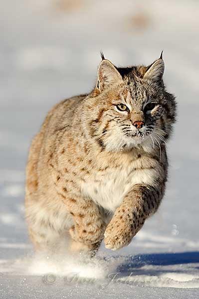 Photograph North American Cats by Don Johnston on 500px