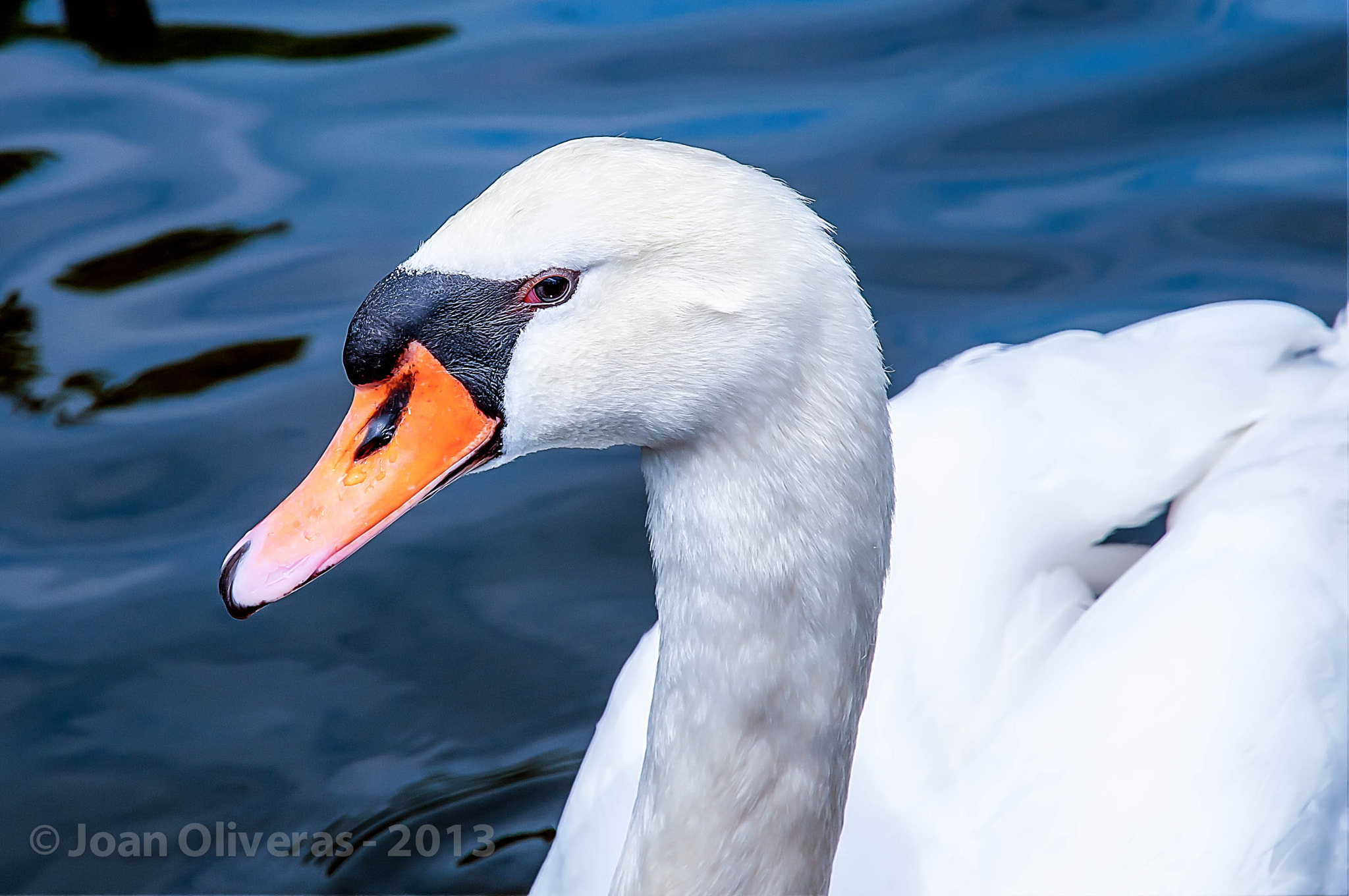 Photograph Swan by Joan Oliveras on 500px