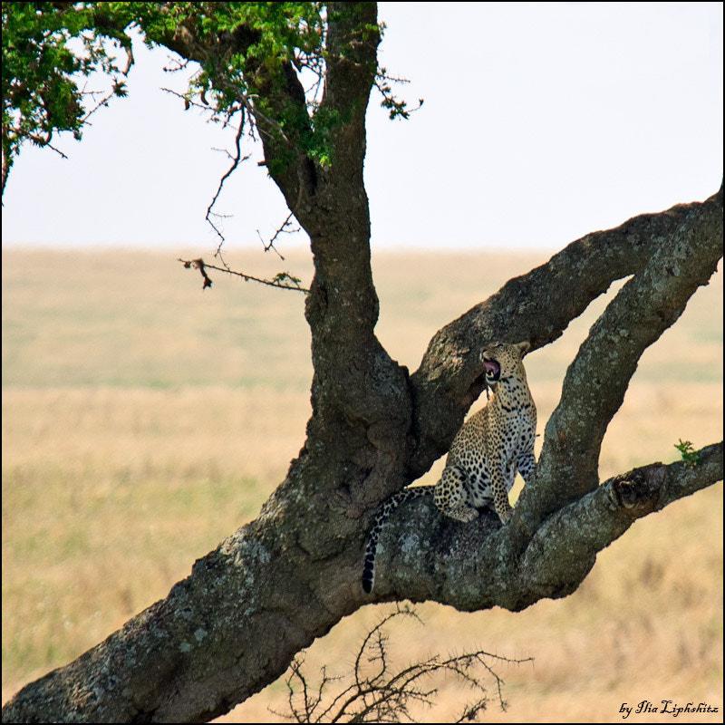 Leopard's morning