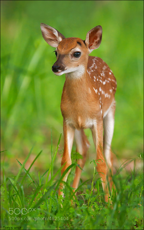 Photograph Bambi by Marina Scarr on 500px