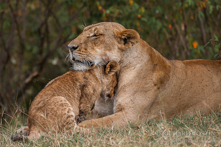 Photograph Lion cub with mother by Richard Costin on 500px