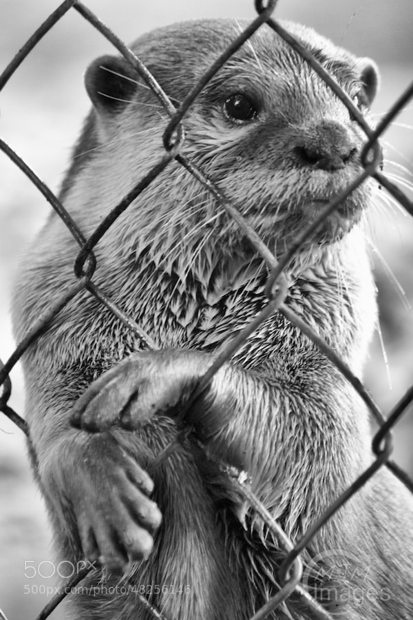 Otter waits for food at the fence