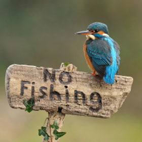 Kingfisher on Sign by Dean Mason (DeanMason)) on 500px.com