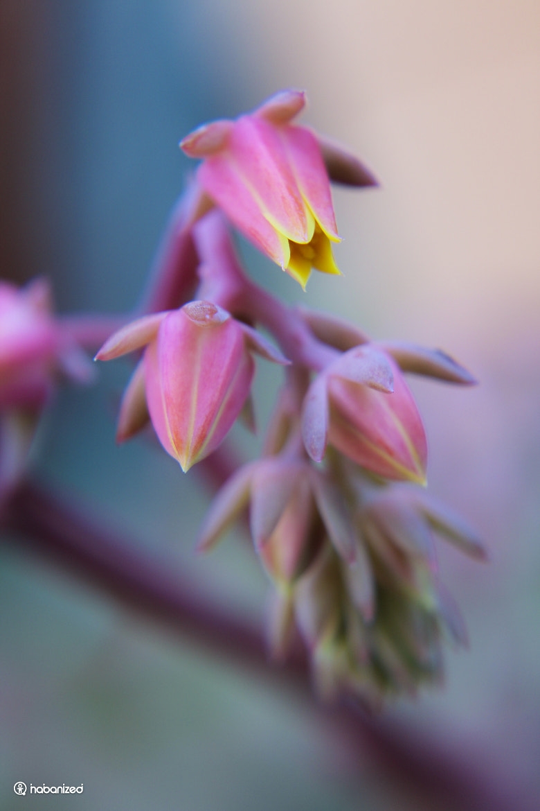 Photograph Echeveria by Eugene W on 500px