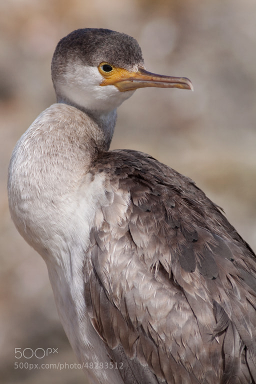 Photograph Spotted shag at The Mole by Paul Sorrell on 500px
