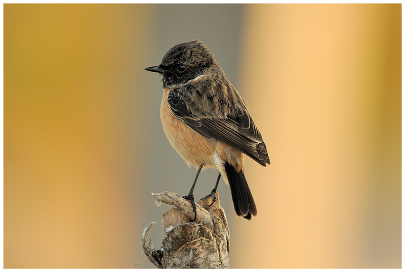 Photograph Asian Stonechat by nara simhan on 500px