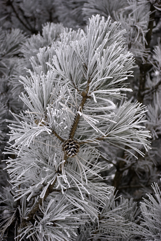 Photograph Hoarfrost on Pine by J. E. Bark on 500px