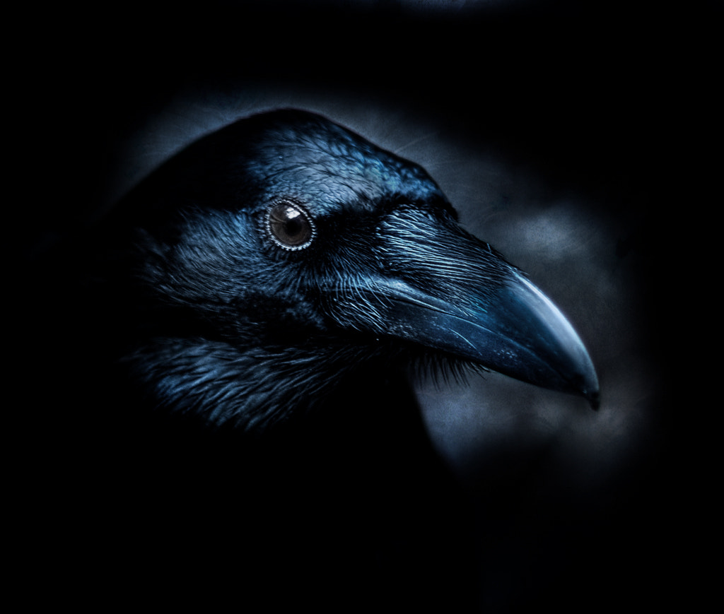 Photograph raven by Dieter Schaefer on 500px