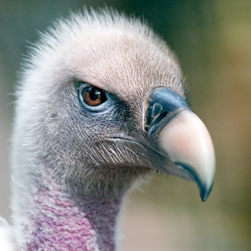 Photograph Ruppell's Griffon Vulture by Dieter Schaefer on 500px