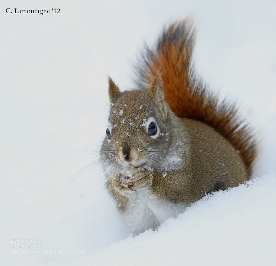 Red Squirrel eating peanuts that fell from the bird feeder last winter.