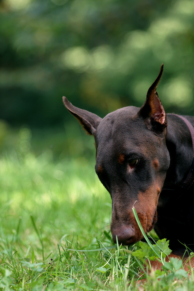 Photograph Dobermann by Sandra (Nikodema) on 500px
