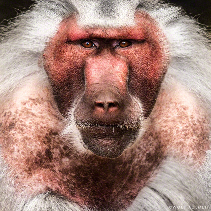 Photograph the beauty of the ugly old baboon by Wolf Ademeit on 500px