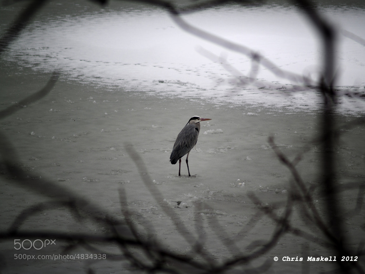 Photograph Heron on Frozen Lake by Chris Maskell on 500px