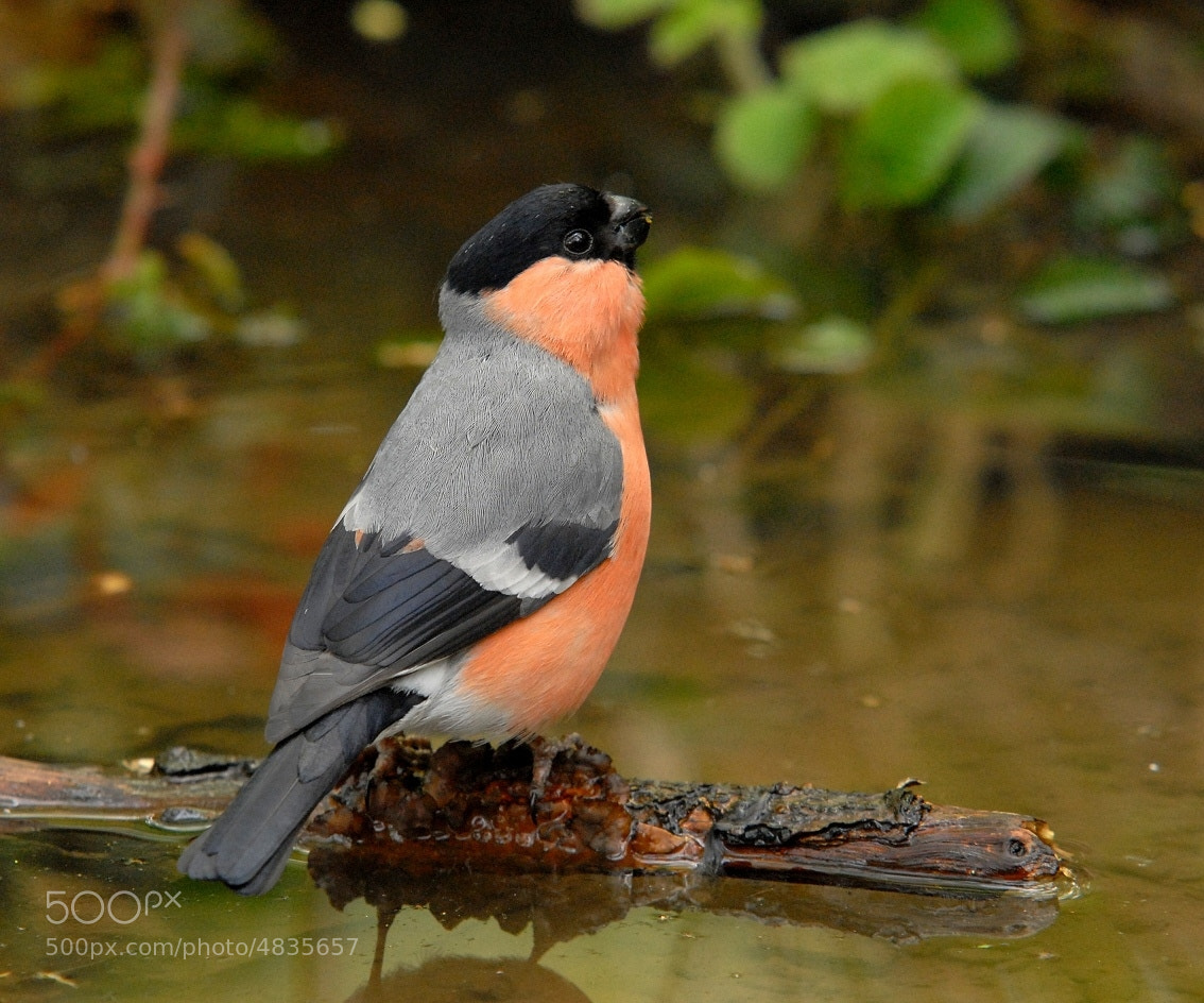 Photograph Bullfinch by John Robinson on 500px