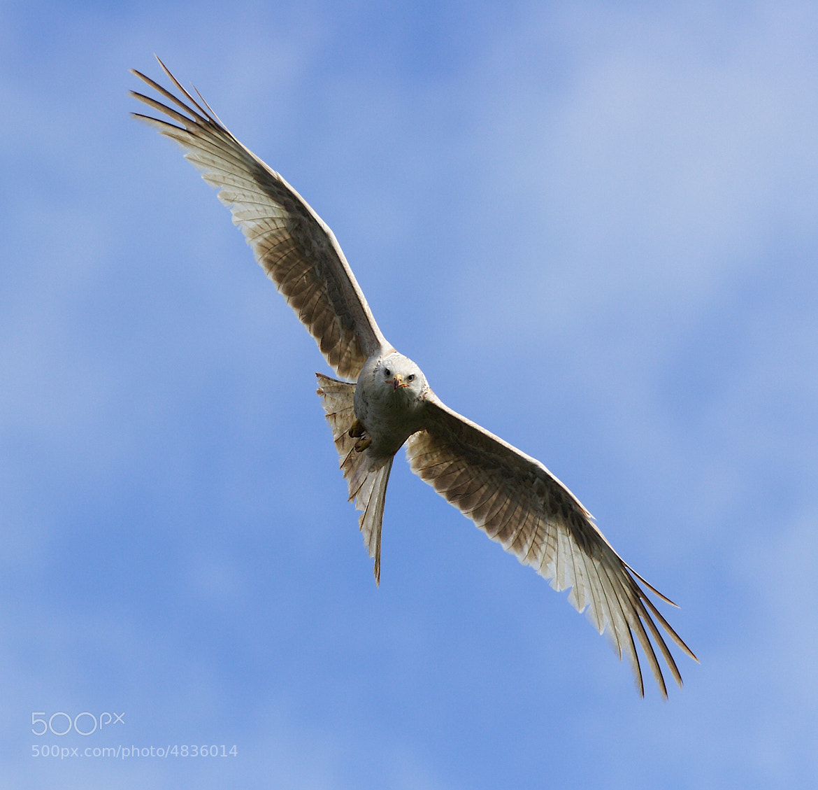 Photograph Red kite by Vic.  Parsons. on 500px