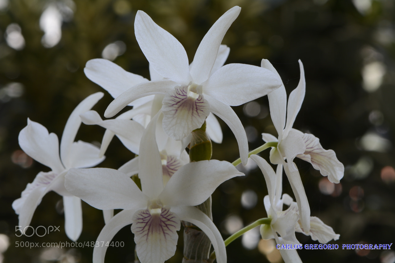 Photograph Chanel dendrobium by Carlos Gregorio on 500px