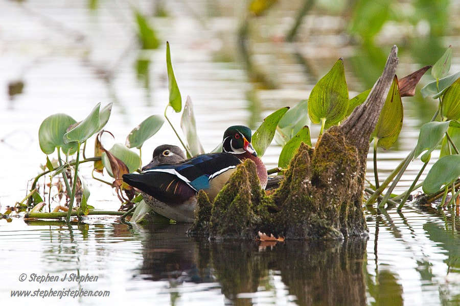 Photograph Favourite Perch - Wood Duck Pair by Stephen Stephen on 500px
