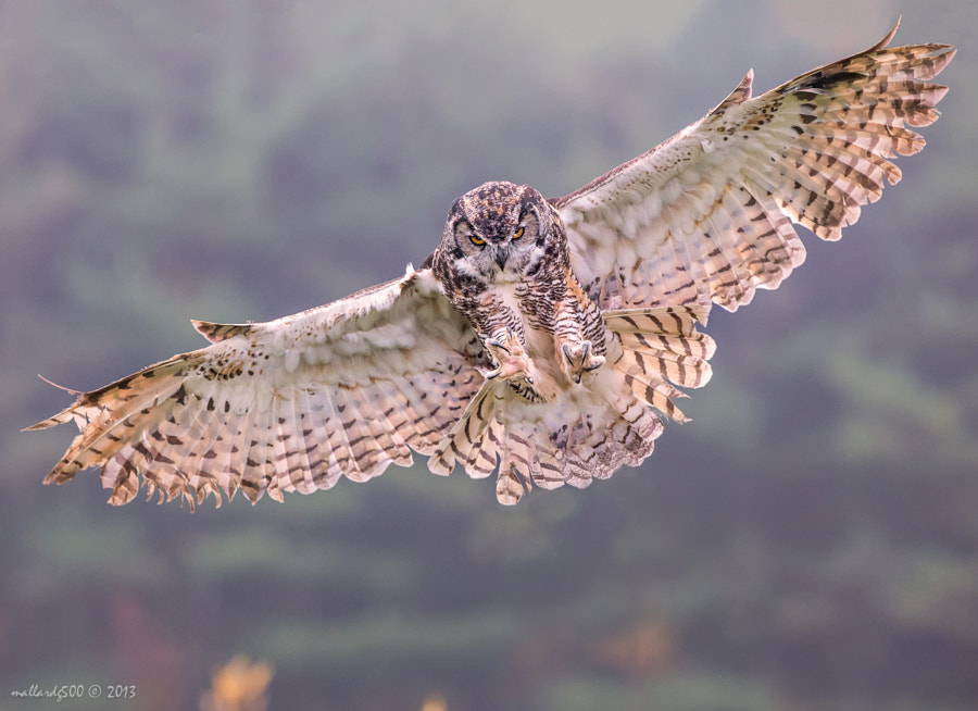 Photograph Great-horned Owl by Phoo (mallardg500) Chan on 500px