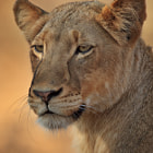 A magnificent lioness from the Jacaranda Pride which inhabits the Timbavati region of the greater Kruger National Park in South Africa.  We had a fantastic morning with this lioness and another from her pride.