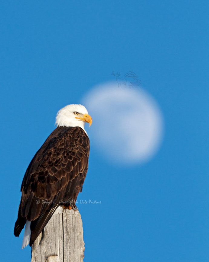 Photograph Bald Eagle, Full Moon by Daryl L. Hunter on 500px