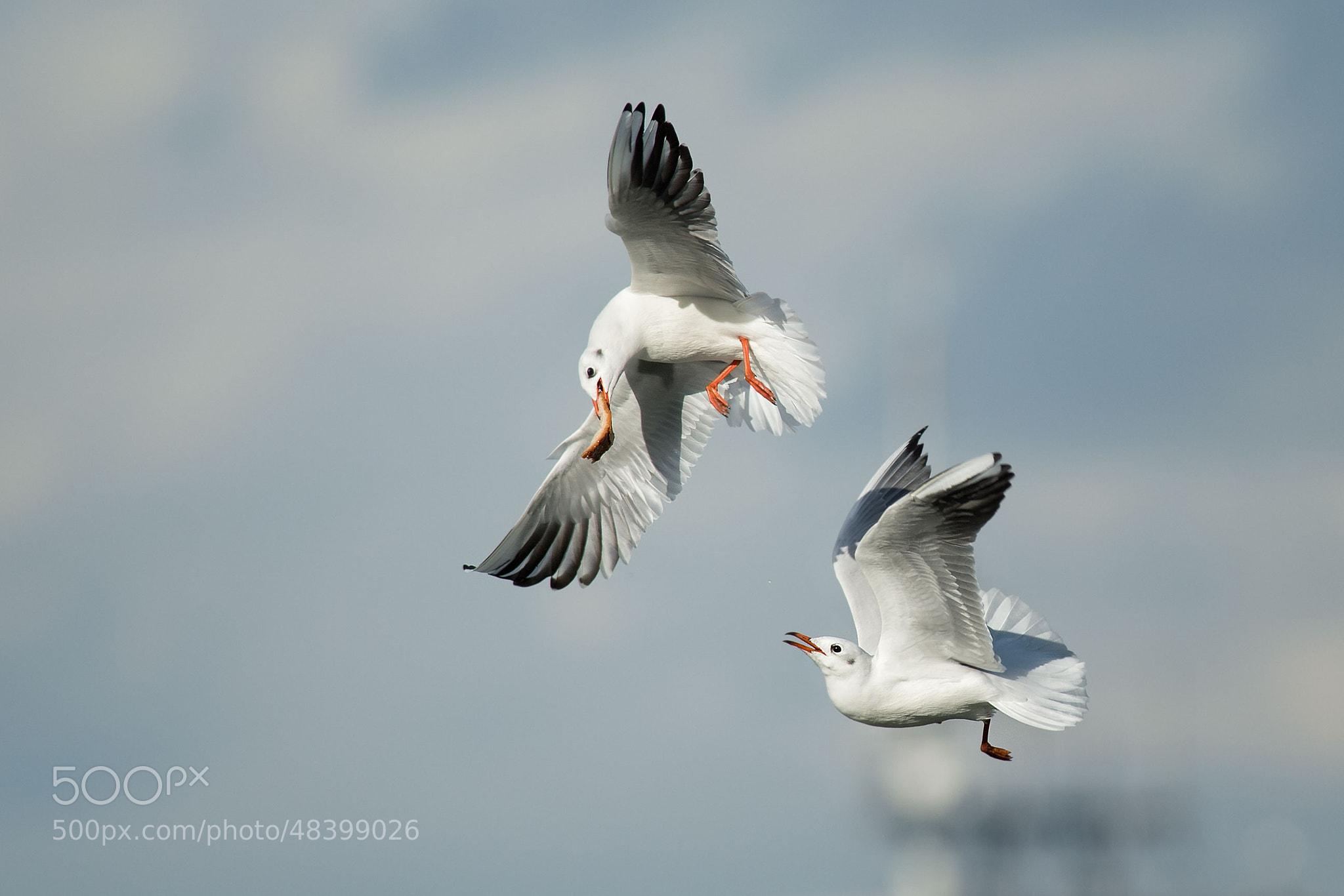 Photograph Kämpfende Möwen | Fighting seagulls by Franz Engels on 500px
