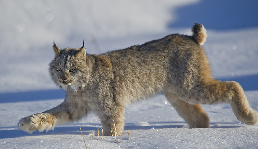 Photograph Lynx by Dan Newcomb on 500px