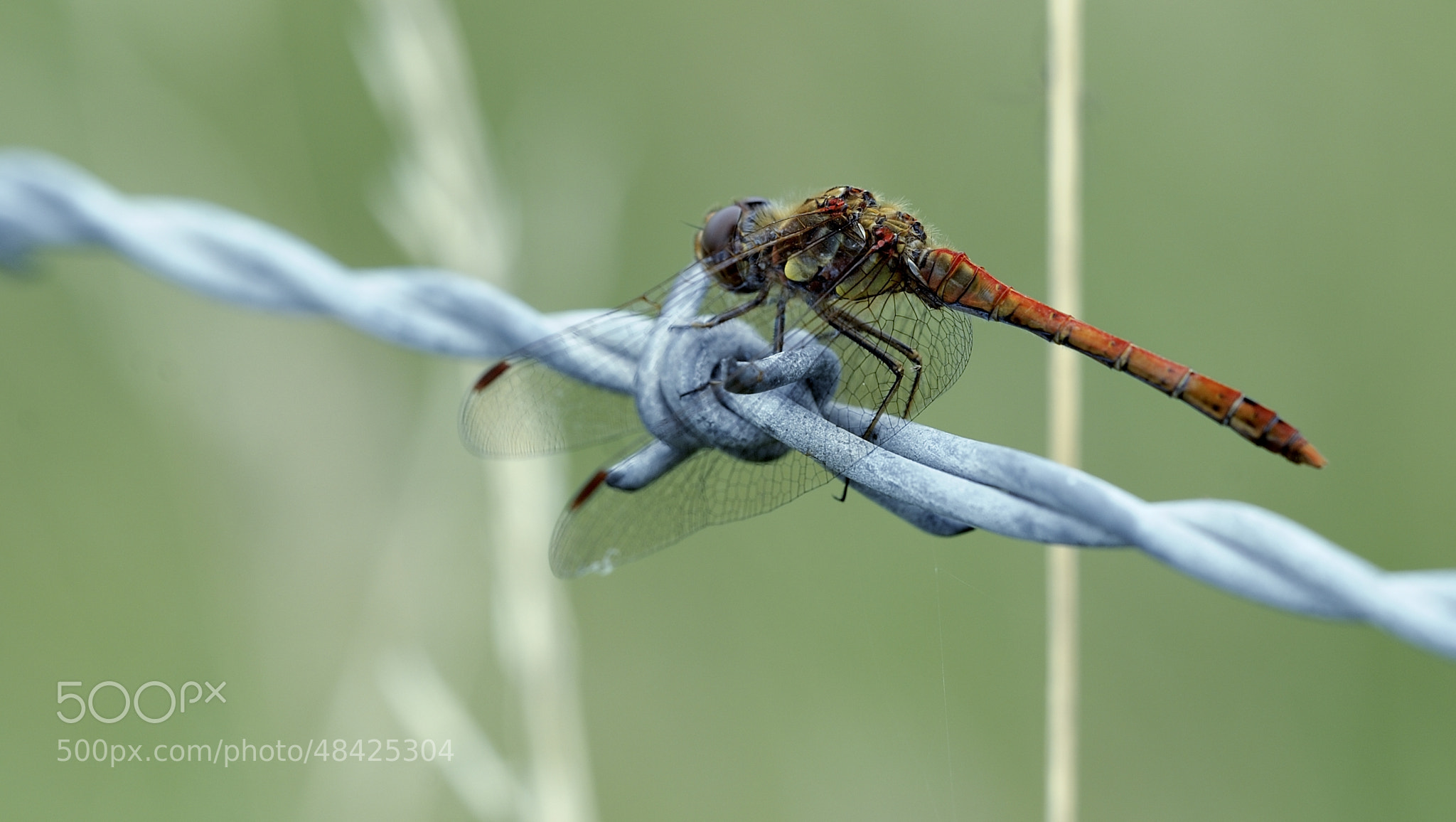 Photograph Red Darter Dragonfly by Simon Pattinson on 500px