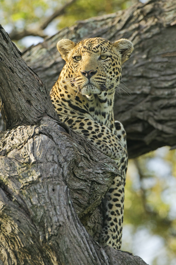 Actually he had just woken up, hence the vaguely dozy look.  One of our many Leopard sightings on our recent trip to Kwando