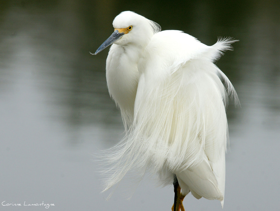 Snowy Egret not looking too impressed on the job the wind is doing to his feathers :)