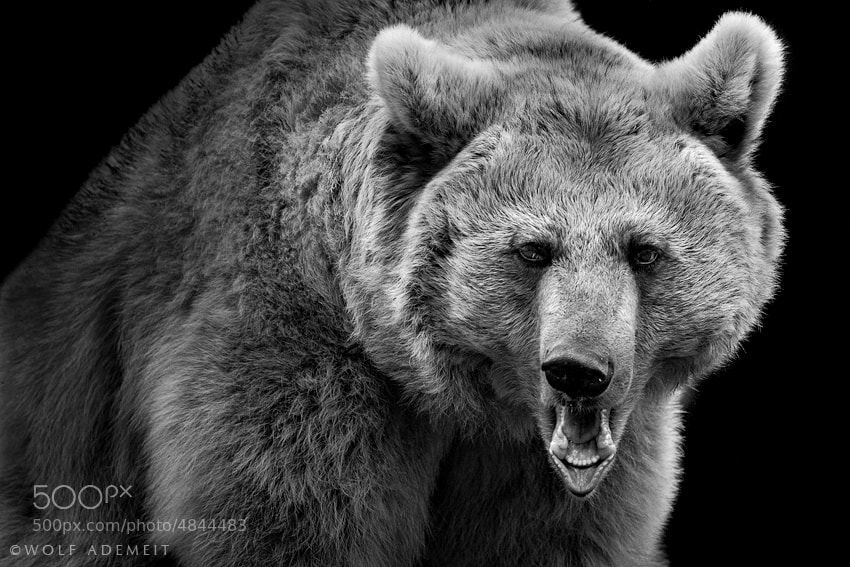 Photograph BROWN BEAR by Wolf Ademeit on 500px