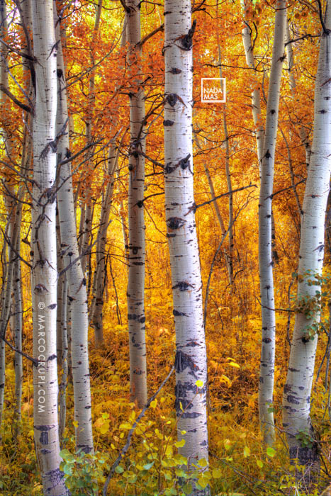 Photograph Amber Aspens by Marco Crupi on 500px