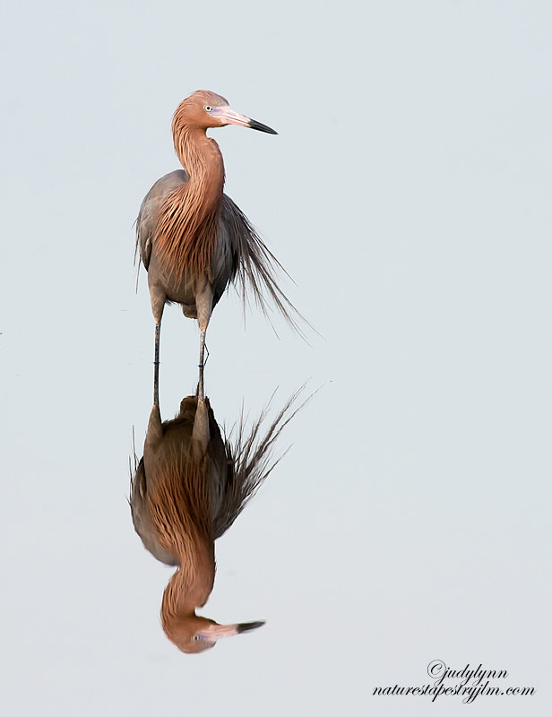 This reddish egret was standing so  still that it truly looked like a statue.  In another few weeksit will be i fullmating color and they are so beautiful.  Interesting how nature dresses them up in brighter colors so as to attract a mate.