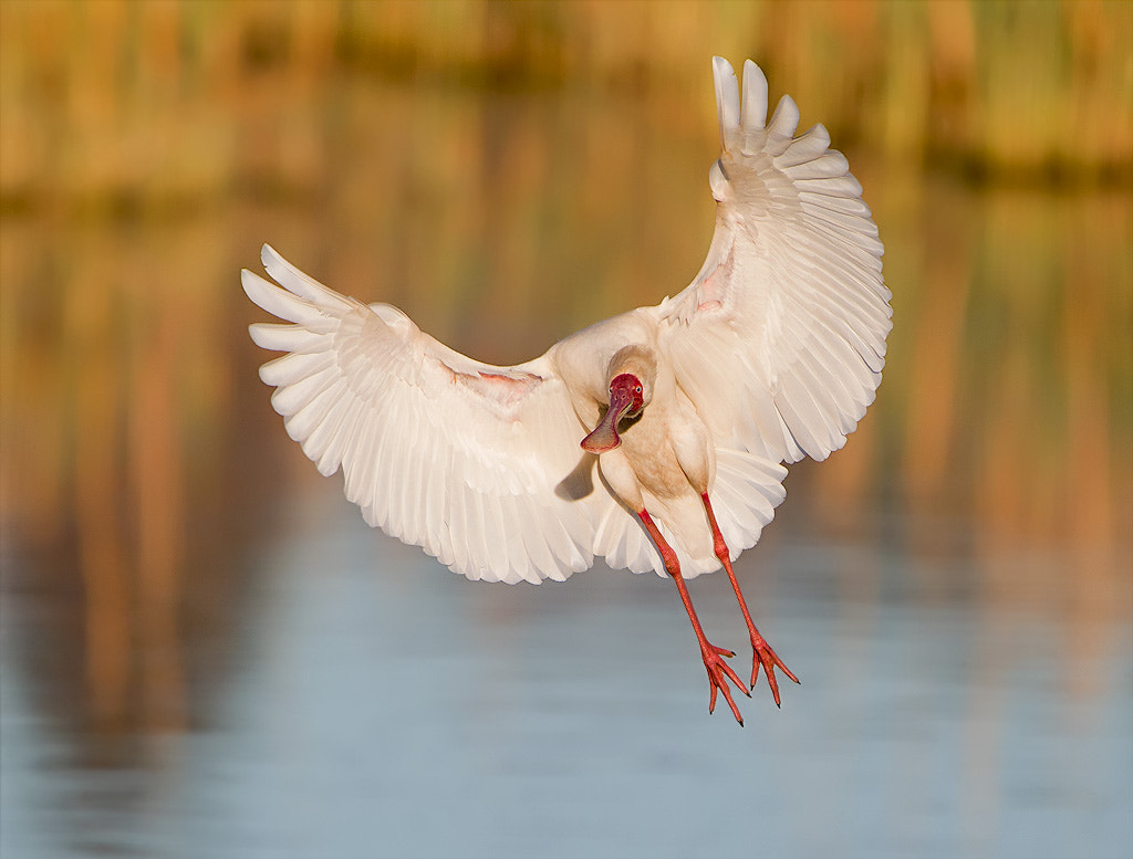 Photograph Spoonbill  by Chris Kotze on 500px
