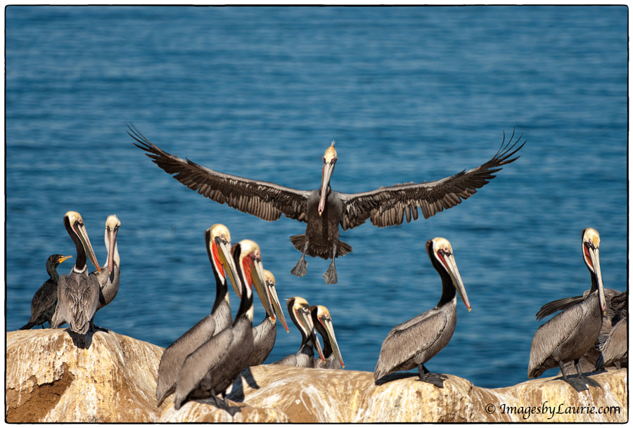 Brown Pelicans with breeding plumage