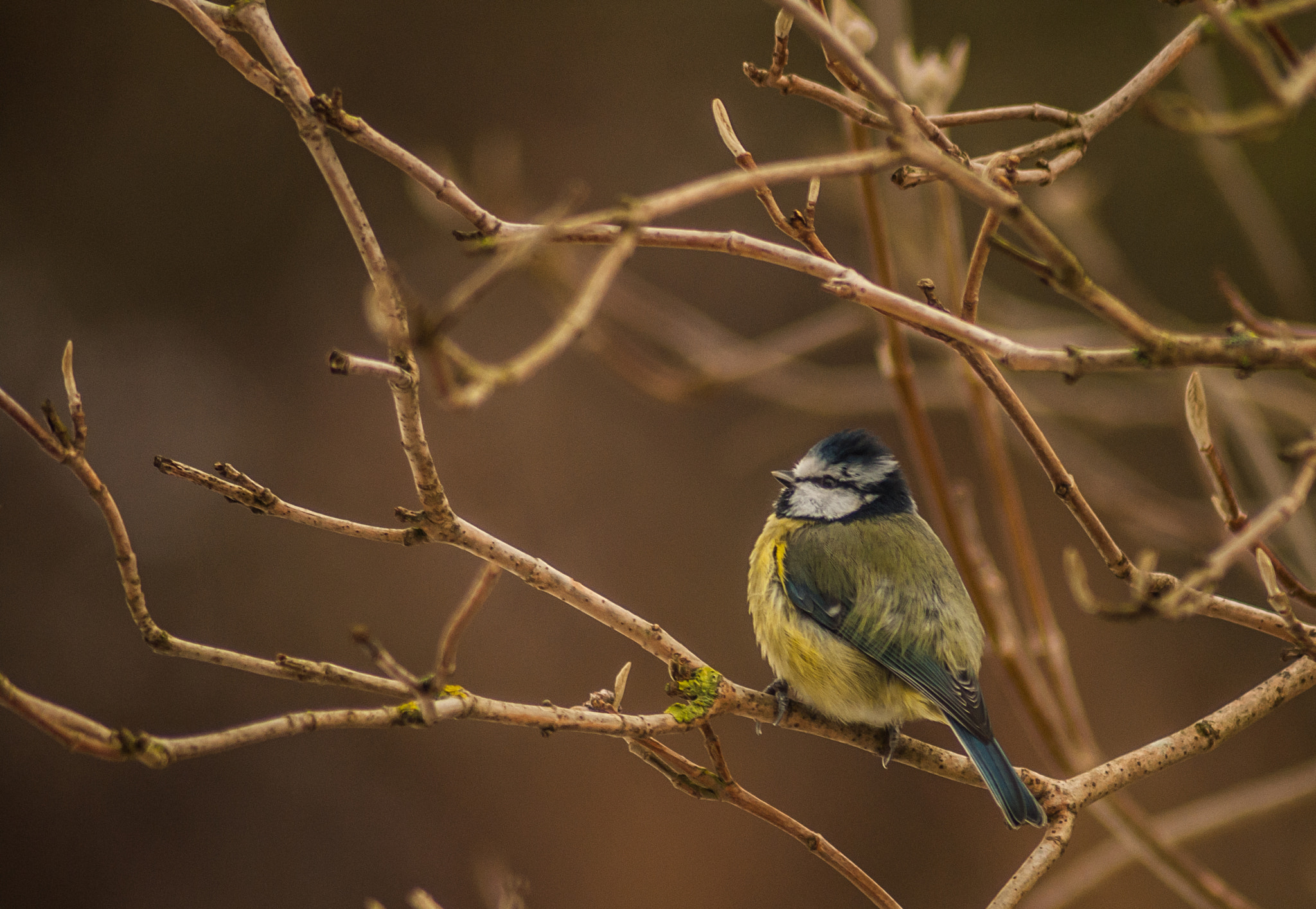 Photograph Lil Blue Tit by Josh Spacagna on 500px