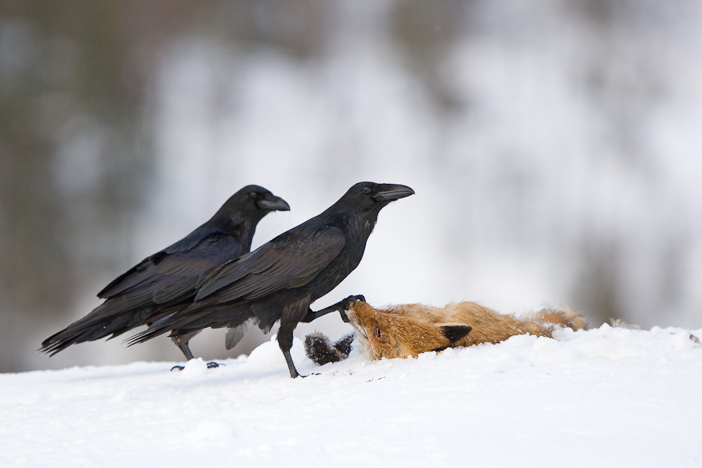 Photograph The fox and the raven by René Visser on 500px