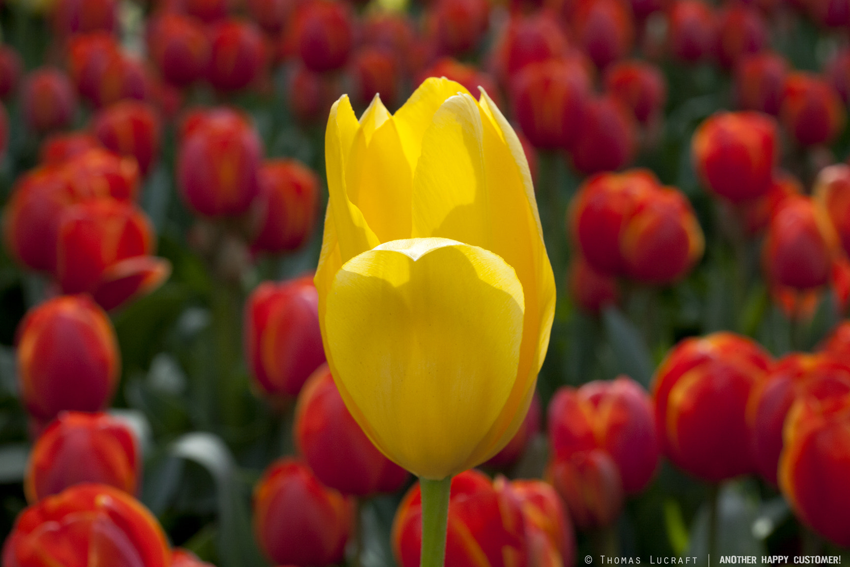 Photograph Yellow amongst the Red by Thomas Lucraft on 500px