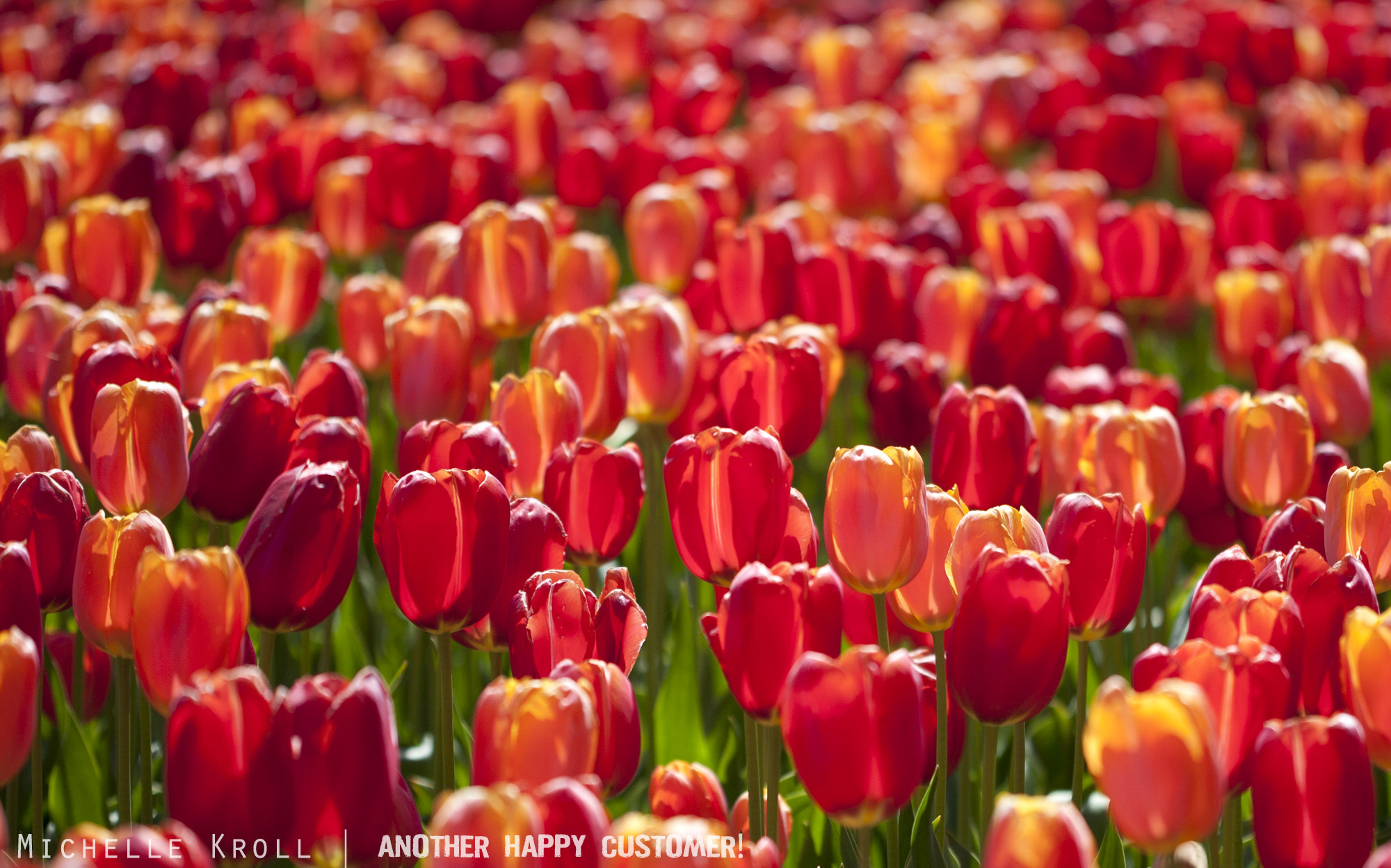 Photograph Tulip overload! by Michelle Kroll on 500px