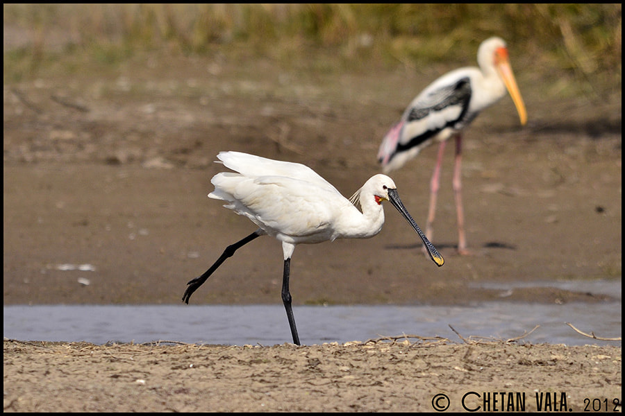 Photograph SpoonBill Style by chetan vala on 500px