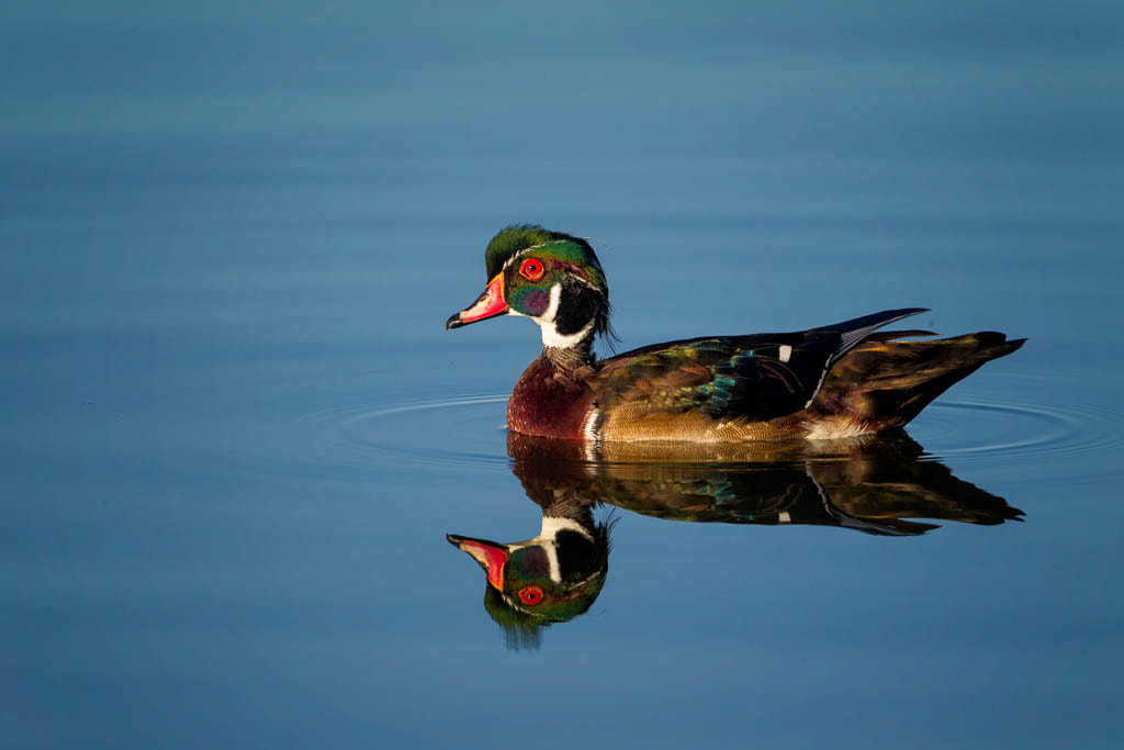 Photograph Wood Duck by Jess Yarnell on 500px