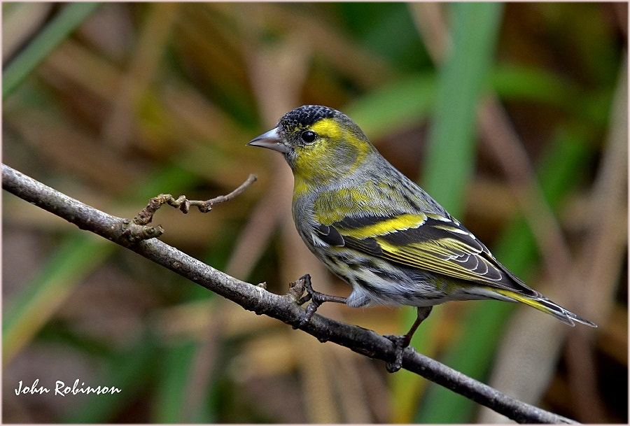Photograph Siskin by John Robinson on 500px