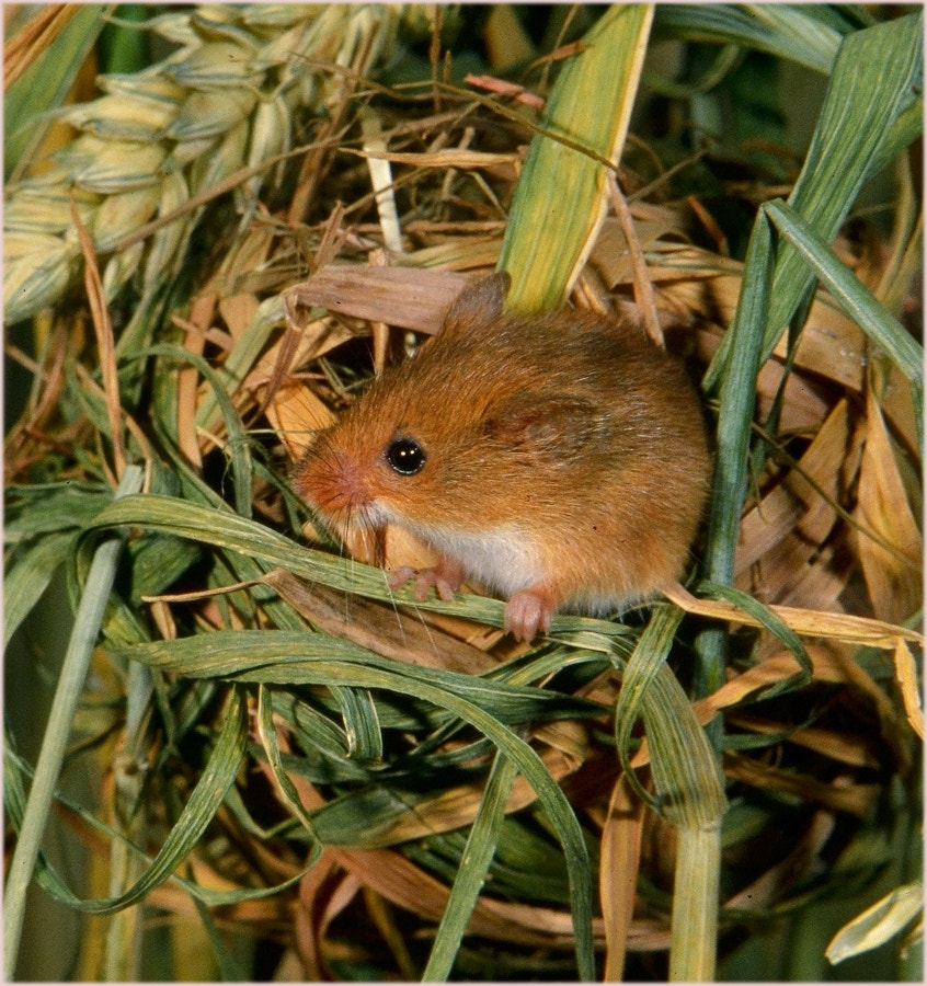 Photograph Harvest Mouse by John Robinson on 500px