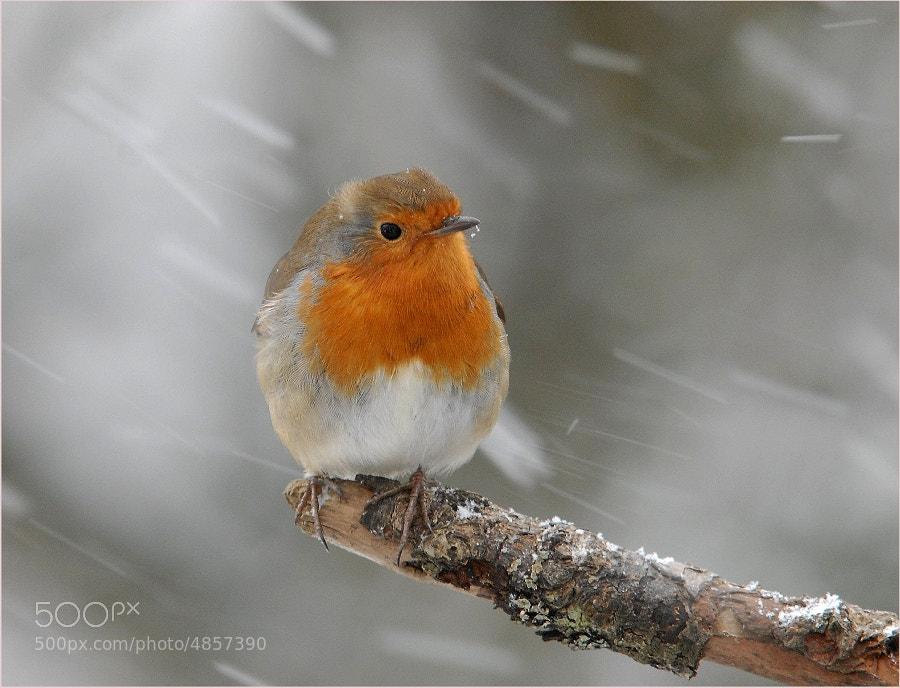 Photograph Robin by John Robinson on 500px