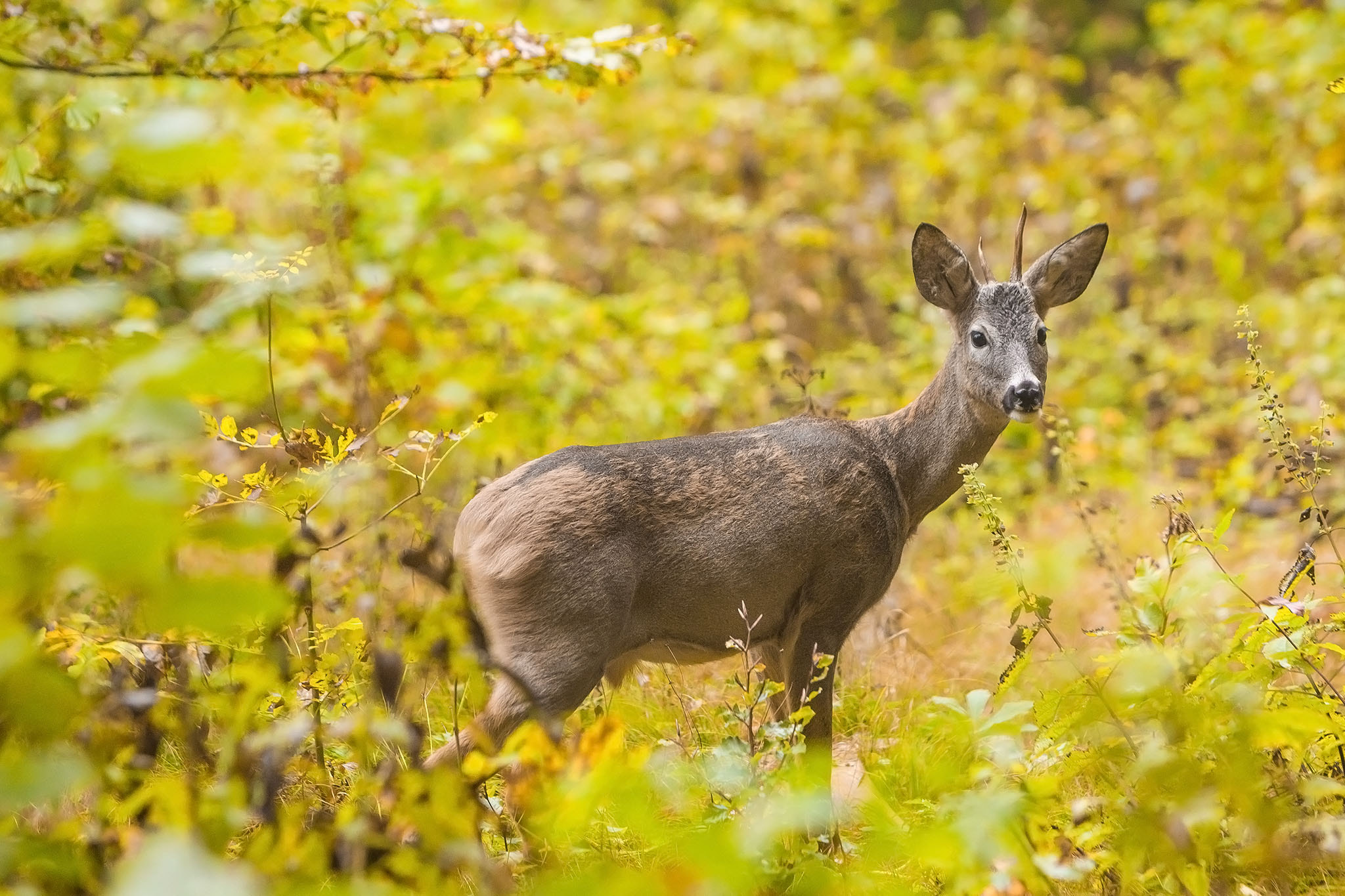 Photograph Young Roe Deer by Luka  Klun on 500px